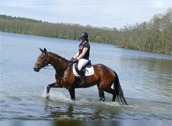 Latvian Warmblood, Mare, 12 years, 16.1 hh, Brown