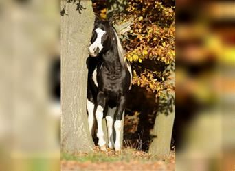 Arabian Partbred, Stallion, 10 years, 15.2 hh, Tobiano-all-colors