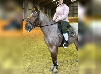 Hungarian Sport Horse, Mare, 10 years, 14.2 hh, Roan-Red