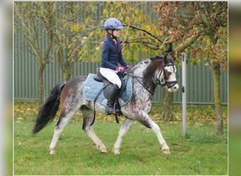 Welsh A (Mountain Pony), Gelding, 4 years, 11.2 hh, Roan-Bay