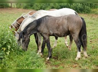 Welsh A (Mountain Pony), Stallion, 1 year, 12 hh, Gray