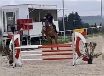 Belgian Warmblood, Mare, 7 years, 16 hh, Chestnut-Red
