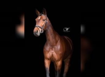French Trotter, Mare, 13 years, 15.1 hh, Brown