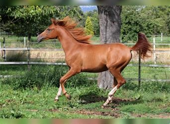 Arabian horses, Mare, 9 years, 14.2 hh, Chestnut-Red