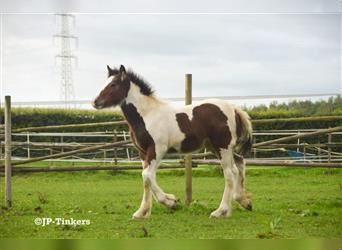 Gypsy Horse, Mare, Foal (05/2021), 14.2 hh