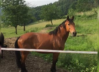 Hanoverian, Mare, 15 years, 16.1 hh, Brown