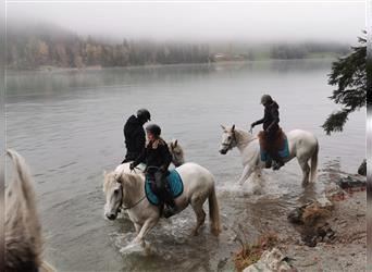 Camargue, Mare, 11 years, 14.2 hh, Gray