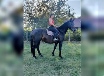Hungarian Sport Horse, Mare, 13 years, 16.2 hh, Smoky-Black