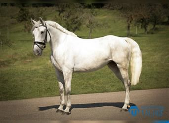 Hungarian Sport Horse, Mare, 6 years, 15.3 hh, Gray