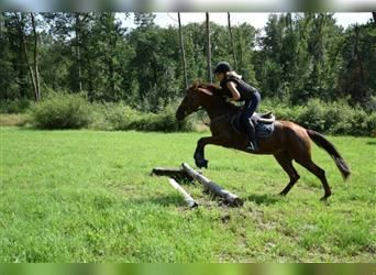 German Riding Pony, Mare, 3 years, 14.2 hh, Chestnut