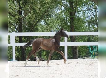 German Riding Pony, Stallion, Foal (03/2021), Can be white