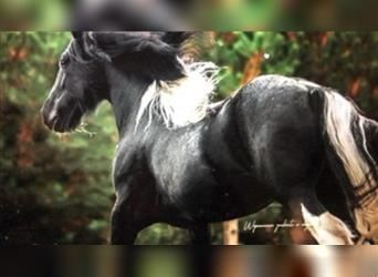 Gypsy Horse, Mare, 14 years, 15 hh, Black