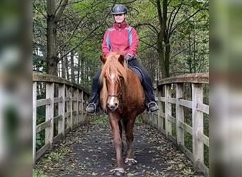 Icelandic Horse, Mare, 11 years, 13.3 hh, Chestnut-Red