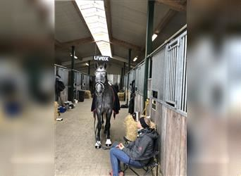 German Sport Horse, Stallion, 3 years, 16.1 hh, Can be white