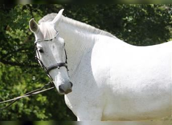 Andalusian, Mare, 7 years, 15.3 hh, Gray