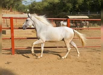 Andalusier, Wallach, 3 Jahre, 160 cm, Palomino