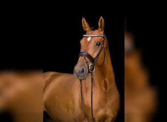 German Sport Horse, Mare, 6 years, 16.2 hh, Brown