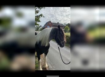Gypsy Horse, Mare, 7 years, 14.2 hh, Pinto