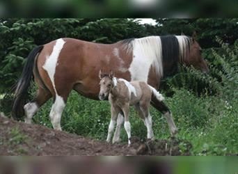 Mustang (canadian), Stallion, Foal (07/2021), 15.1 hh, Pinto