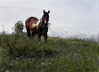Paint Horse, Hengst, 3 Jahre, 150 cm, Tobiano-alle-Farben