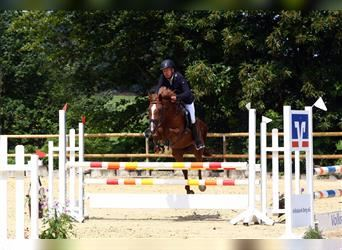 German Riding Pony, Mare, 10 years, 14.2 hh, Chestnut