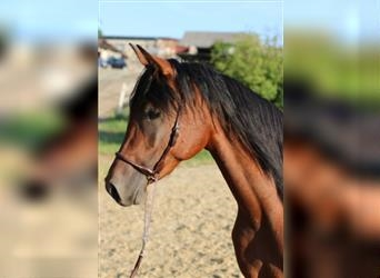 Straight Egyptian, Mare, 2 years, Brown