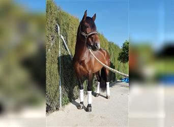 Andalusian, Stallion, 5 years, 15.2 hh, Bay