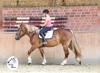 Heavy Warmblood, Mare, 3 years, 15.2 hh, Chestnut-Red
