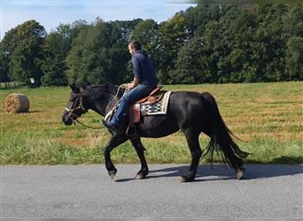 Other Breeds, Mare, 12 years, 15.2 hh, Black