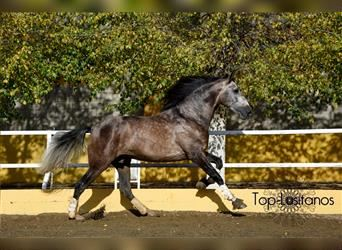 Andalusian, Stallion, 5 years, 17 hh, Brown Falb mold