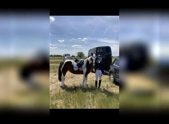 Other Breeds Mix, Mare, 14 years, 14 hh, Pinto