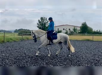 Other Warmbloods, Mare, 11 years, 15.3 hh, Gray