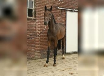 KWPN, Mare, 2 years, 16 hh, Brown
