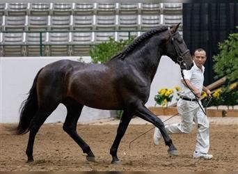 Andalusian, Stallion, 6 years, 16.1 hh, Black