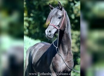 Straight Egyptian, Mare, 2 years, 15 hh, Roan-Bay