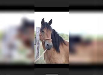 Belgian Draft Mix, Mare, 6 years, 15.2 hh, Brown