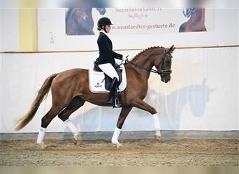 German Sport Horse, Mare, 3 years, 16.1 hh, Chestnut-Red