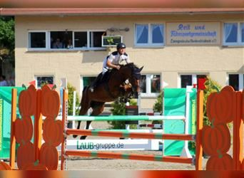 German Sport Horse, Mare, 8 years, 16.1 hh, Brown