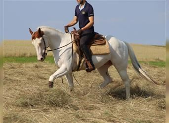 Paint Horse, Gelding, 8 years, 15.1 hh, Pinto