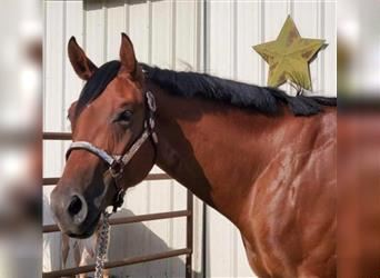 Paint Horse, Mare, 2 years, Bay