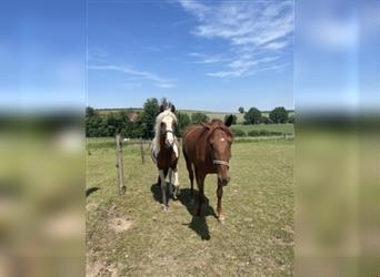 Baroque Pinto, Mare, 3 years, 15.2 hh, Pinto