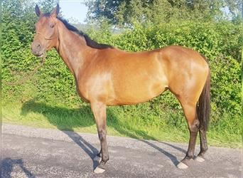 English Thoroughbred, Mare, 3 years, 15.1 hh, Brown-Light