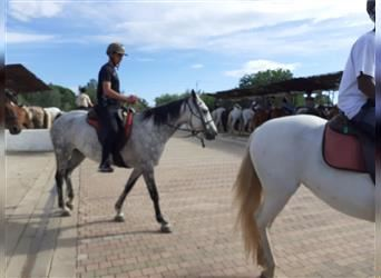 Arabian Partbred, Mare, 10 years, 15.1 hh, Gray