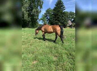 English Thoroughbred, Mare, 7 years, 16.1 hh, Brown