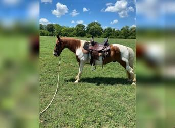 Spotted Saddle Horse, Gelding, 11 years, 14 hh, Pinto