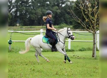Welsh A (Mountain Pony), Gelding, 7 years, 11.2 hh, Gray