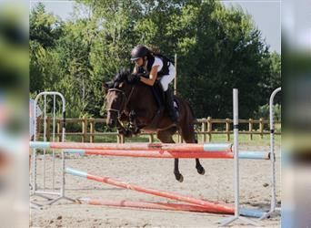 French riding pony, Mare, 9 years, 14 hh, Brown