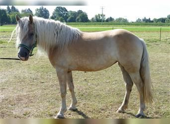 Haflinger, Mare, 3 years, 14.2 hh