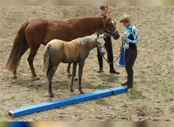 Missouri Foxtrotter, Mare, Foal (01/2021), 14.2 hh, Can be white