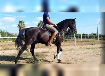 Andalusier, Wallach, 14 Jahre, 162 cm, Rappe